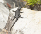 The black girdled lizard, Cordylus niger,