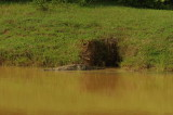 Mugger Crocodile -Crocodylus palustris