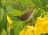 Purple pumped sunbird
