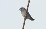 Ashy woodswallow - Artamus fuscus