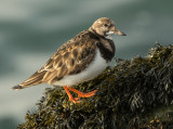 Turnstone -Arenaria interpres