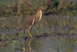 Indian Pond Heron (Ardeola grayii)