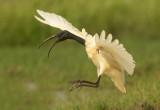 Black headed or Oriental White Ibis (Threskiornis melanocephalus)