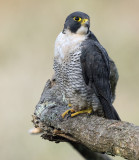 Peregrine Falcon-Falco peregrinus