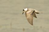 Whit-winged Black Tern