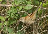 Cettis Warbler - Cettia cetti