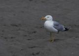 Yellow -legged gull.jpg