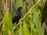 Red-winged Blackbird (Agelaius phoenixes)