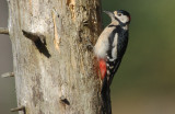 Greater Spotted Woodpecker -  Dendropocus major