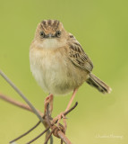Zitting Cisticola or  Fantail Warbler (Cisticola juncidis)