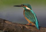 Male Alcedo athis