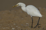 Eastern Cattle Egret - Bubulcus coromandus