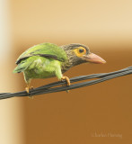 Brown-headed Barbet   (Megalaima zeylanica)