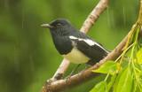 Oriental Magpie-Robin (Copsychus saularis)
