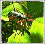 Green blister beetle (Lytta sayi)