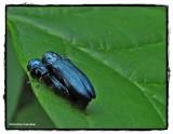 Buprestid beetle (Agrilus cyanescens)