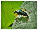 Flower longhorn beetle (Gaurotes cyanipennis)