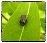 Leafhopper (Penthimia americana)