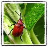 Weevils (Curculionidae)