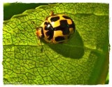Fourteen-spotted ladybeetle (Propylaea quatuordecimpunctata))