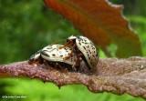 Willow Calligrapha beetle (Calligrapha multipunctata)