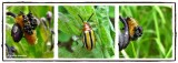Three-lined potato beetle (Lema daturaphila)