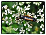 Flower longhorn  (Strangalepta abbreviata) with mite infestation