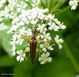 Flower longhorn (Analeptura lineola) on goutweed