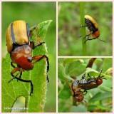 Clay-colored leaf beetle (Anomoea laticlavia)