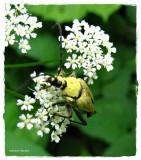 Longhorn beetle (Trigonarthris sp.)