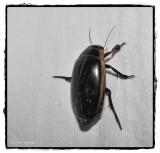 Predacious diving beetle (Dytiscus)