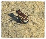 Tiger beetle (Cicindela repanda or formosa)