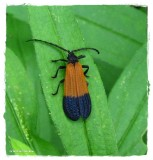 Net-winged beetle (Calopteron terminale)