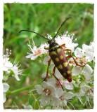 Flower longhorn  (Typocerus velutinus)