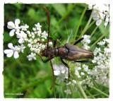Longhorn beetle (Bellamira scalaris)
