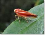 Leafhopper (Idiodonus kennecotti)