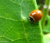 Polished ladybeetle (Cycloneda munda)