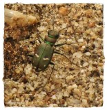 Tiger beetle (Cicindela purpurea)