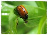 Case-bearing leaf beetle (Bassareus mammifer)