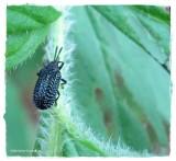 Leaf beetle (Microrhopala excavata)