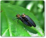Red-necked cane borer (Agrilus ruficollis)