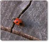 Handsome Fungus Beetles (Family: Endomychidae)