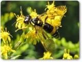 Sawfly (Tenthredo basilaris)