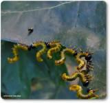 Argid Sawfly larvae on red oak