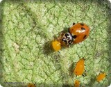 Variegated ladybeetle  (Hippodamia variegata) with aphid