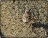 Ghost tiger beetle (Ellipsoptera lepida)