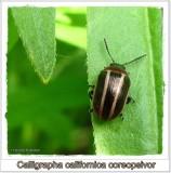 Calligraphic beetle (Calligrapha californica coreopsivora)