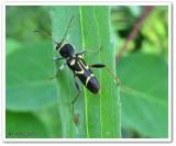 Flower longhorn beetle (Clytus ruricola)