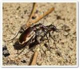 Tiger beetle (Cicindela scutellaris)