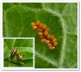 Three-lined beetle eggs (Lema daturaphila)